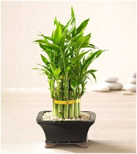 GoPromotional - Feng Shui Plants